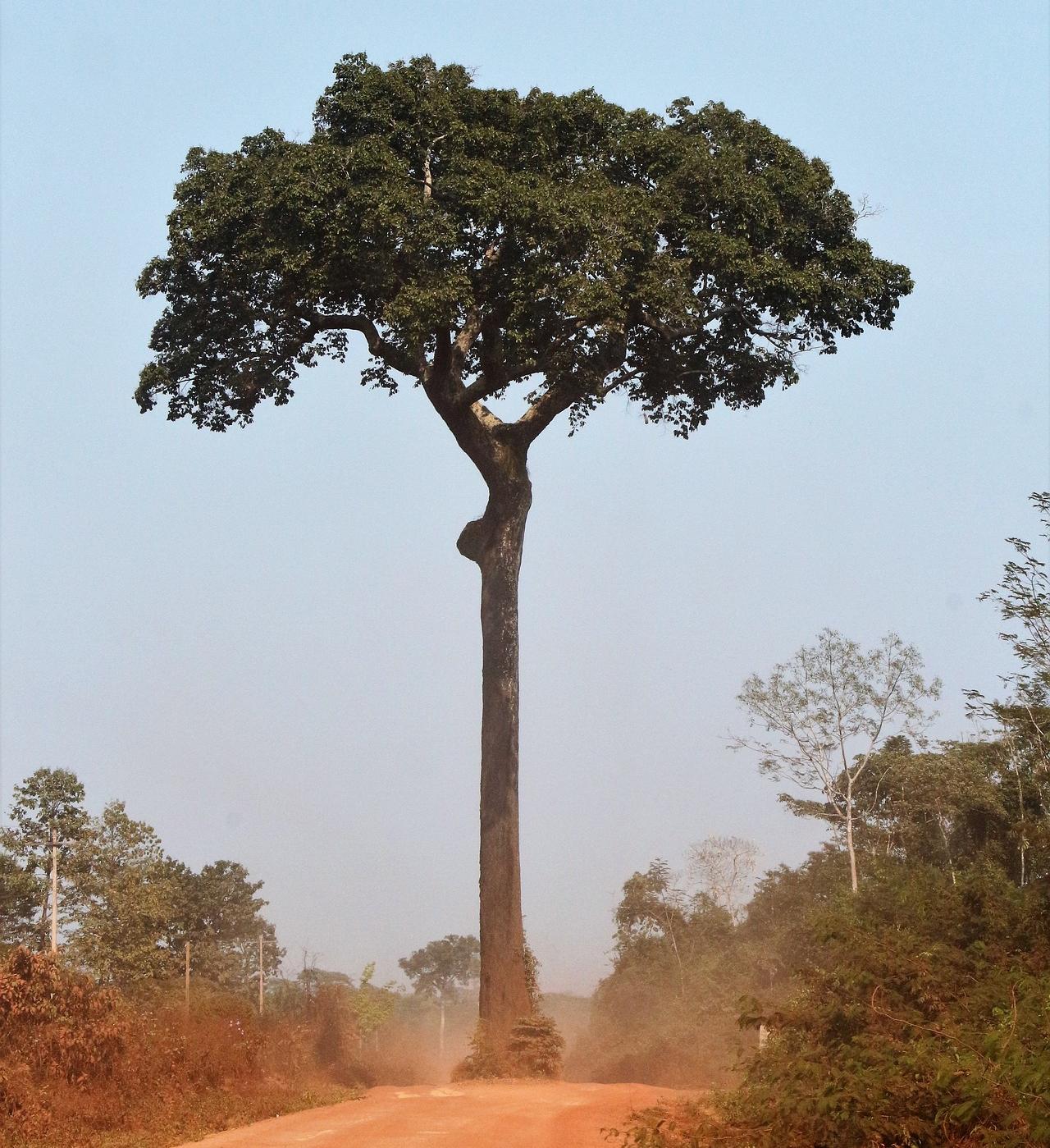 Parapähkinäpuu